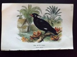 C. W. Gedney 1888 Antique Hand Col Bird Print. The Mino Bird